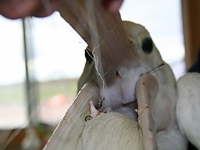 Entangled pelican with three hooks in her mouth from ACTIVE fishing