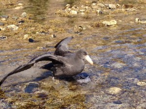Peter the Southern Giant Petrel released after several weeks on care.