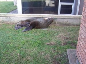 Large male Australian sea lion sleeping on the grass before being shot