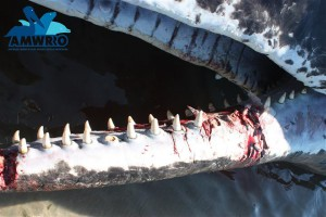 One of two whales that had their teeth hacked out with a hacksaw